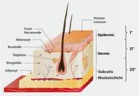 Übersicht zum grundlegend dreischichtigen Aufbau der menschlichen Haut. Aus der Verteilung der einzelnen anatomischen Strukturen ergibt sich die differenzierte Betrachtung der verschiedenen Verbrennungstiefen (Skala rechts).