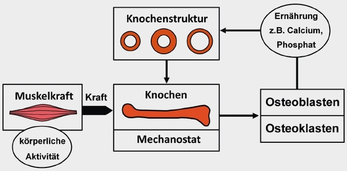 Schematische Darstellung des Mechanostaten: Beeinflussung der Knochenarchitektur und der Osteoblasten und Osteoklasten durch Muskulatur (unter Berücksichtigung modifizierender Einflüsse wie Ernährung und Medikamente).