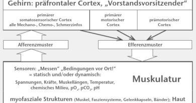 Das SMS. Soll eine Bewegung ausgeführt werden, benötigt das Gehirn Informationen. Diese werden von den Sensoren in den myofaszialen Strukturen und der Haut, welche die mechanischen und biochemischen Bedingungen vor Ort detektieren, geliefert. Alle Sensorinformationen gelangen als Afferenzmuster zum primären somatosensorischen Cortex. Dieser – gemeinsam mit dem primär-motorischen und dem prämotorischen Cortex – ist dann Ausgangspunkt des Efferenzmusters zur Muskulatur, die daraufhin kontrahiert. Die Sensoren detektieren die mechanischen und biochemischen Folgen der Kontraktionen, und der Funktionskreis des SMS ist geschlossen.
